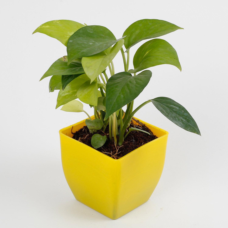 Shop Gift Plants Golden Money Plant In Imported Plastic Pot